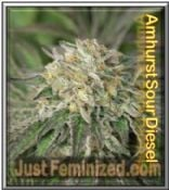 Humboldt Seeds Amherst Sour Diesel Female Marijuana